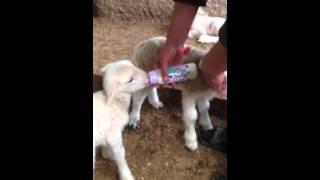 Koyunun annelik iç güdüsü