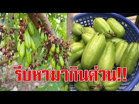 """ต้องรีบหามากิน!! 15 สรรพคุณดีๆ ของ """"ตะลิงปลิง"""" ผลไม้รสชาติเปรี้ยวจี๊ด ช่วยแก้ไอ ขับเสมหะ"""