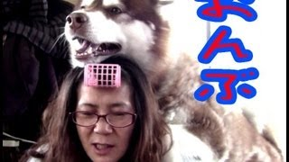 Give me a piggyback dog husky 子供の頃からおんぶ好きのアリスですね...