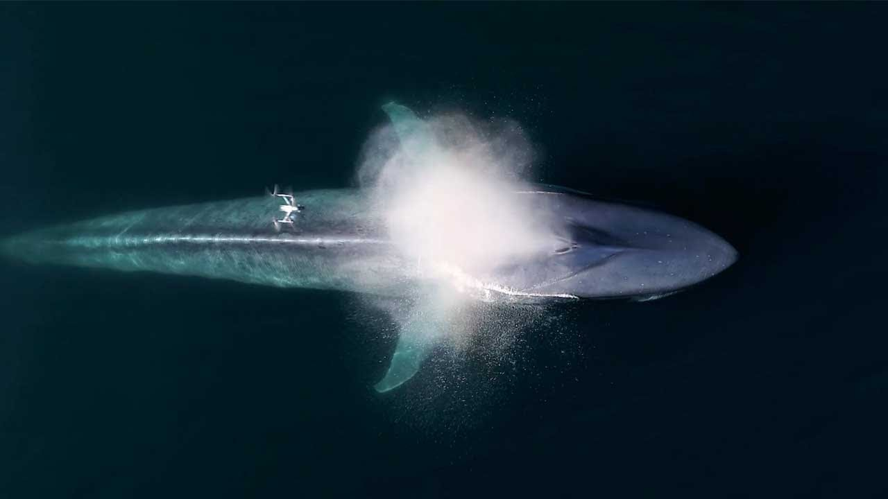 Drone Captures Epic Blue Whale Sneeze - YouTube