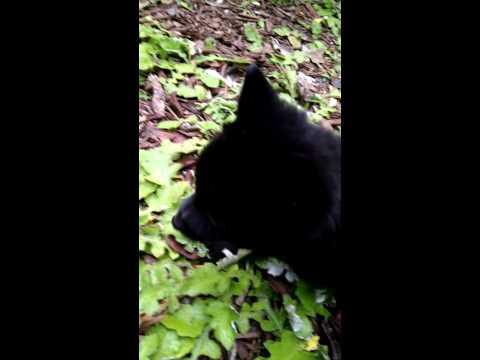 Mr. Bear the Schipperke - Puppy's first time outside