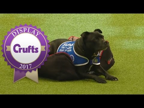 East Anglian Staffordshire Bull Terrier Display Team | Crufts 2017