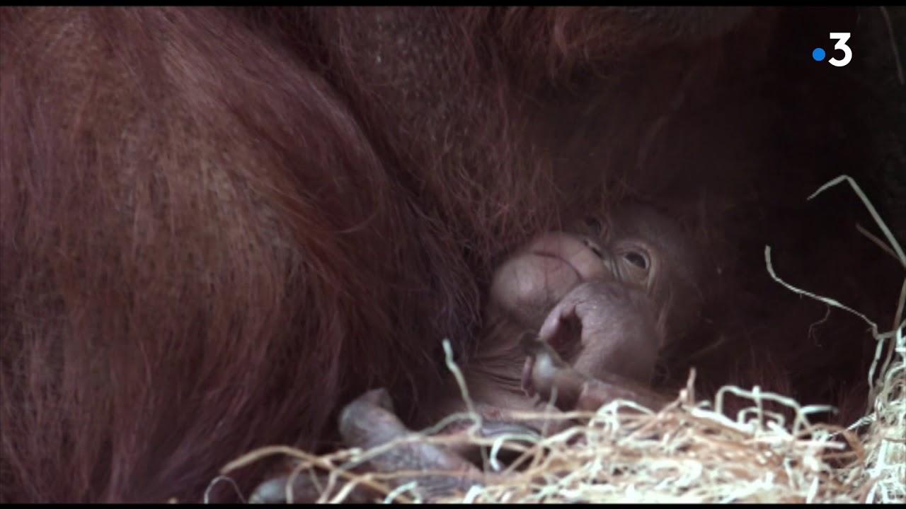 15f10e0274b24 Un bébé orang-outan naît à la Ménagerie du Jardin des plantes - YouTube
