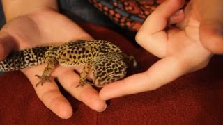 The Science of Taming a Leopard Gecko