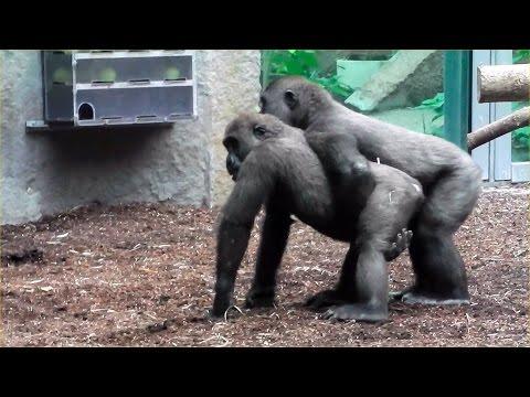 Gorillas – Tano  – Okanda –  Nafi – Tierpark Hellabrunn
