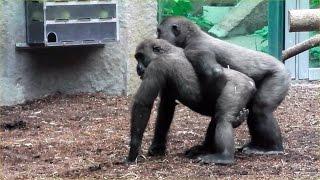 Repeat youtube video Gorillas - Tano  - Okanda -  Nafi - Tierpark Hellabrunn