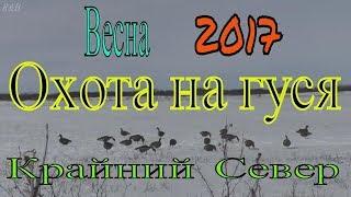 Охота на гуся. Весна 2017