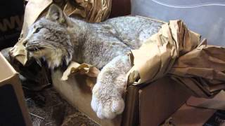Max Canada Lynx A Minute of Fun