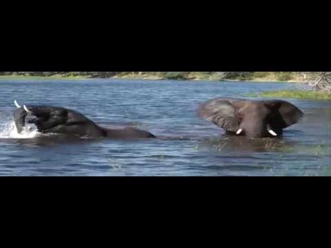 Ataque de crocodilo a elefante, Crocodile attack the elephant, Cocodrilo atacar al elefante