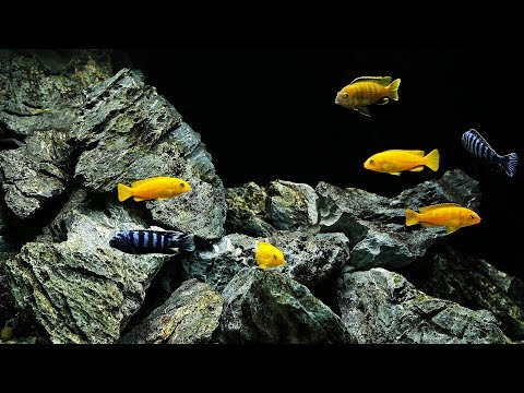 BEST Malawi Cichlid Aquascape (+ 6500G Planted Tank News!)