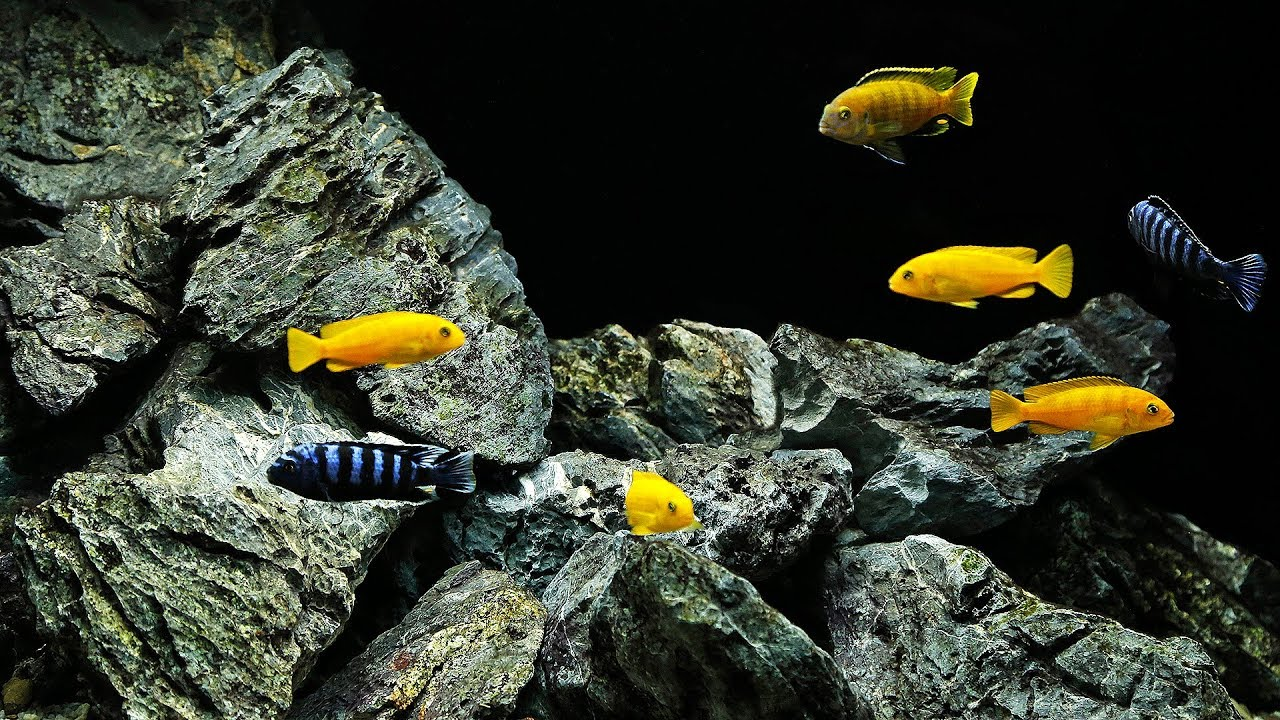 BEST Malawi Cichlid Aquascape (+ 6500G Planted Tank News ...