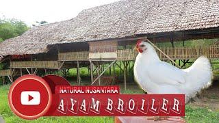 Resep rahasia ternak ayam 40 hari panen dan langsung dimasak rasanya nikmat