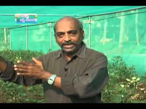 30 05 2014 high density planting of dwarf varieties in cotton dr srikanth s patila