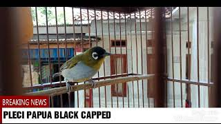 Download Lagu Masteran pleci papua-black capped mp3