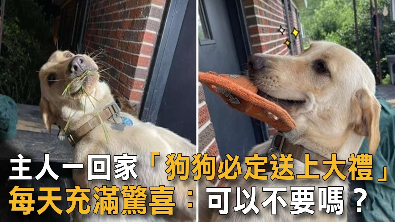 主人一回家「狗狗必定送上大禮」 每天充滿驚喜:可以不要嗎?|狗狗故事|驚喜