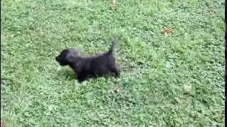Westie Poo Puppies For Sale