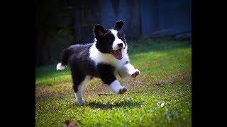 Лучшая подборка приколов про бордер-колли | Самые умные породы собак. Часть 1