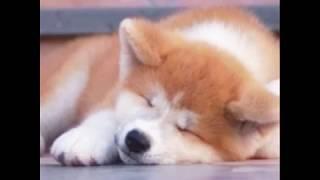 秋田犬とても好き♡ 愛してる    ❤ 高評価 チャンネル登録よろしく⭐️