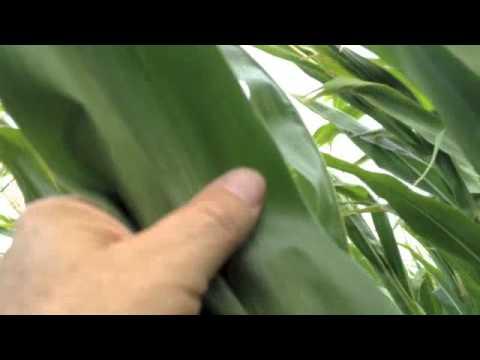 Corn Crop - A True Story