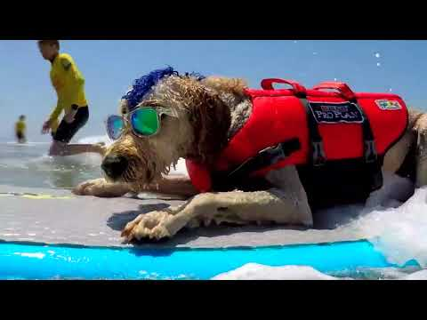 Large Surfing Dog Winner - 2018 Purina® Pro Plan® Incredible Dog Challenge® National Championship