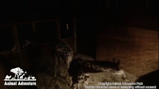 Giraffe Cam - Animal Adventure - April the Giraffe thumbnail
