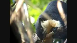 Mammals of the World: Black Giant Squirrel