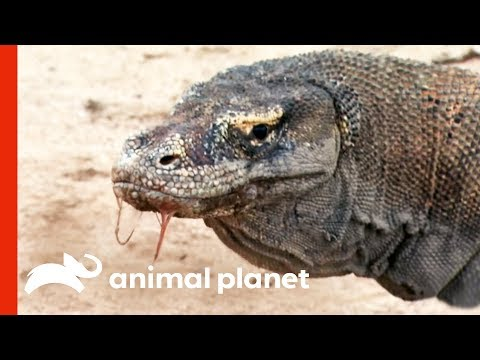 Powerful Komodo Dragons Observed Hunting In The Wild | Raw Nature
