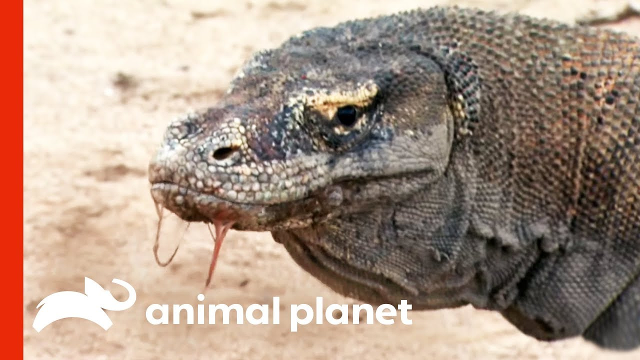 Download Powerful Komodo Dragons Observed Hunting In The Wild   Raw Nature