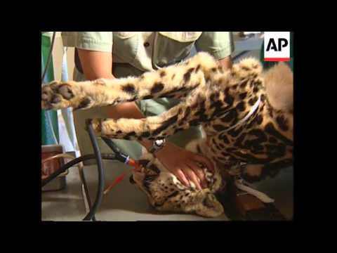 SOUTH AFRICA: VETS PLANNING CHEETAH ARTIFICIAL INSEMINATION PROJECT