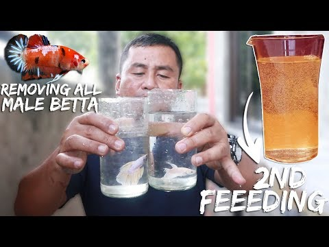 BETTAFISH BREEDING (PART 6)-  FINALLY removing of ALL MALE BETTA & 2ND feeding of BABY BETTA!