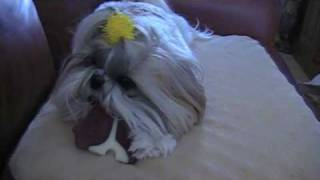 Shih Tzu Dog Brushes Her Teeth--mmm...mmm...mmm