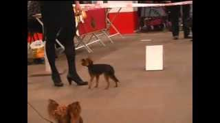 Russian Toy Dogs From Show In Latvija 23.02.2013