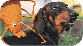 Funny ticks tips! Dachshund dog video!