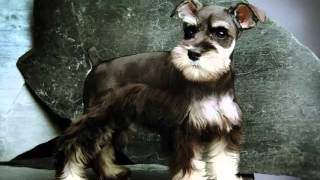 Dog Miniature Schnauzer | Picture Collection Of Terrier Dog Breed