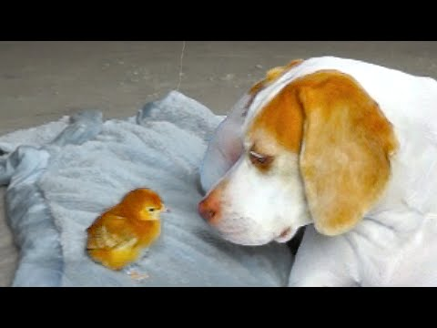 Dog Befriends Baby Chick: Cute Dog Maymo