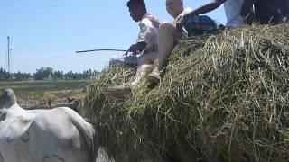 Sri  Lanka,ශ්රී ලංකා,Ceylon,Ox Cart,Bullock Cart,Ochsenkarren