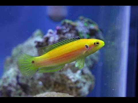 Yellow Candy Hogfish HD