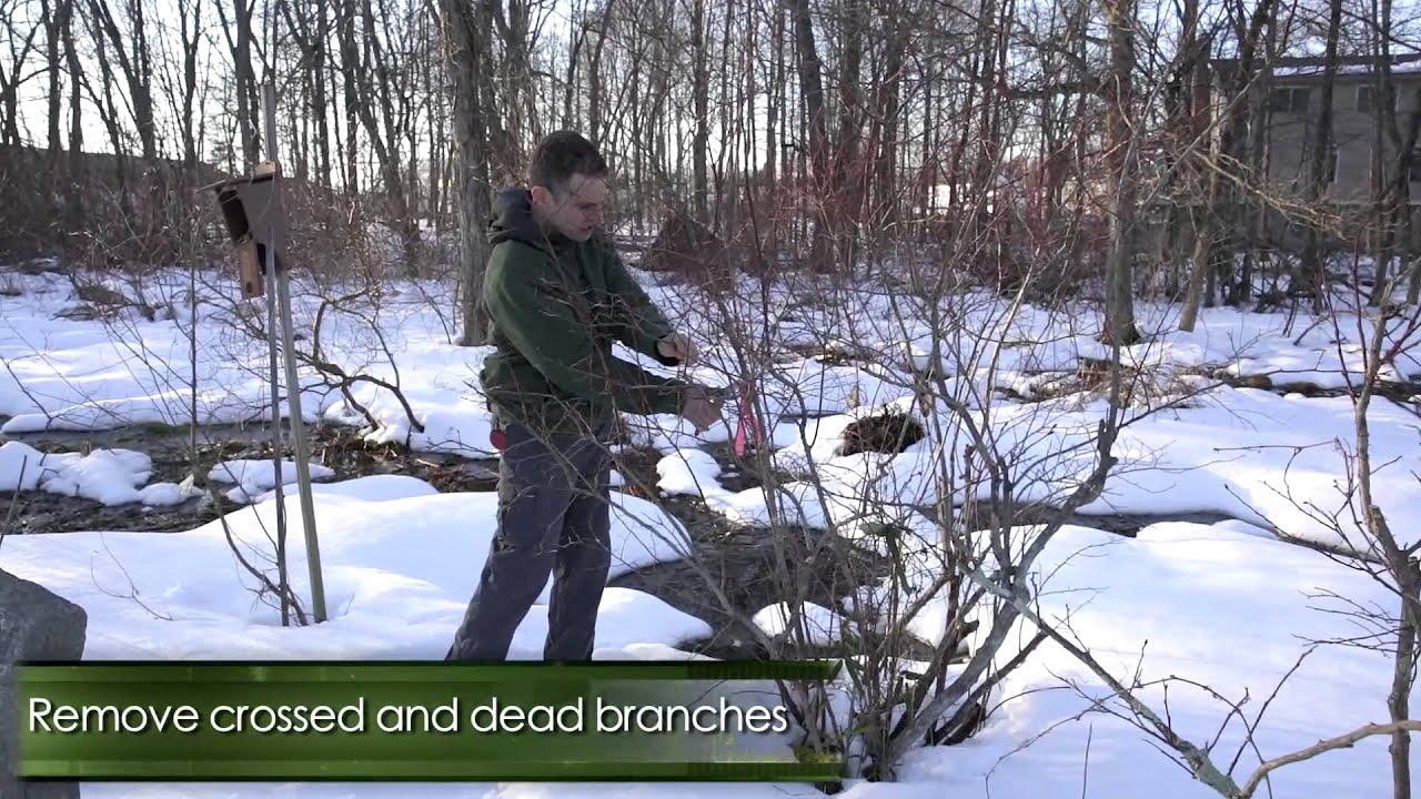 How To Prune Highbush Blueberry Bushes In Winter Youtube