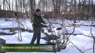 How to Prune Highbush Blueberry Bushes in Winter