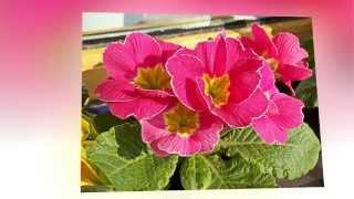 видео Семейство Первоцветные — Primulaceae