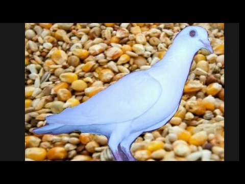 flying pigeon mix feed