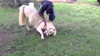 Prince the Mini Horse Training to Lay Down