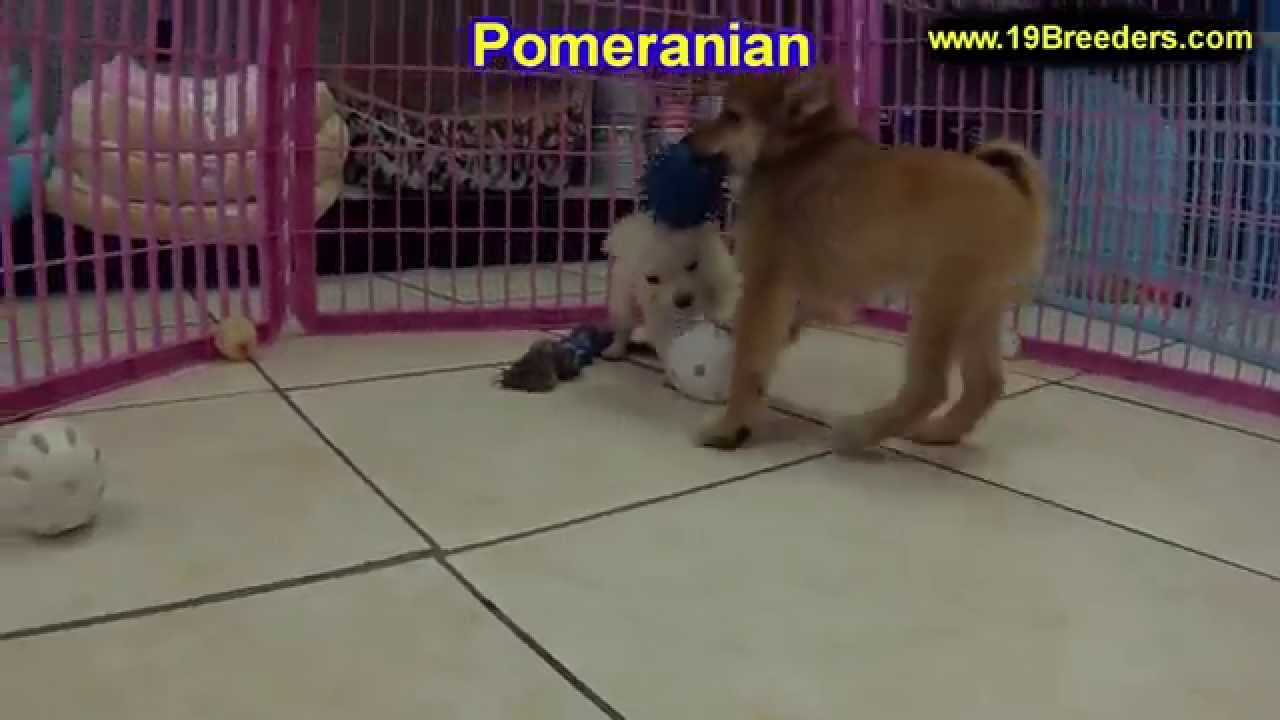 Pomeranian, Puppies, Dogs, For Sale, In Norfolk, County ...