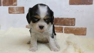 https://www.breeder-navi.jp/dog/71373 子犬販売ならブリーダーナビ ...