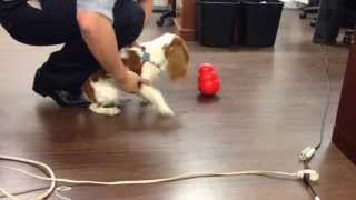 Trick To Teach Your Dog How To Play With Kong Wobbler
