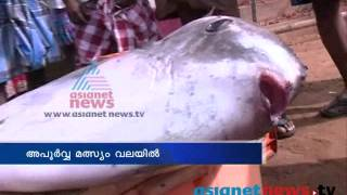 Dead Ocean Sunfish found at Valiyathura