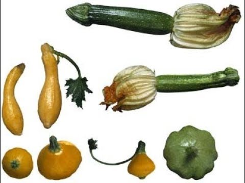 الوصف النباتى لنبات الكوسة Cucurbita pepo | د.أشرف شوقى