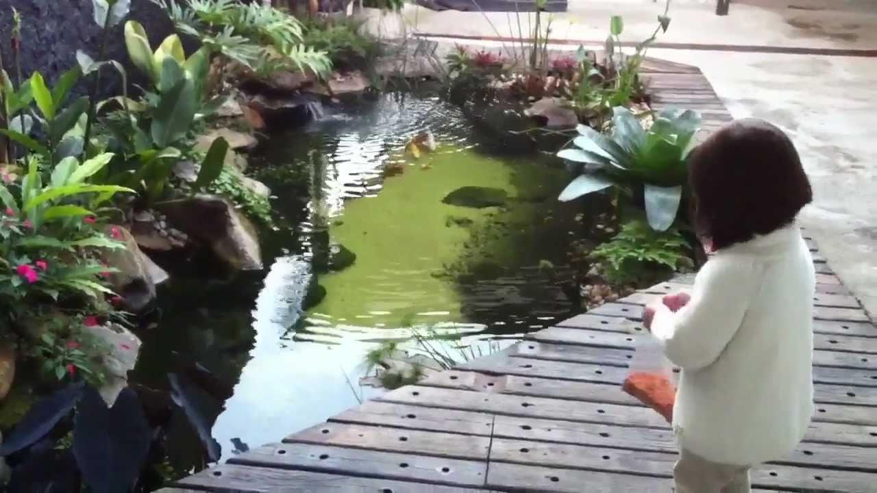Lago de carpas nishikigoi da cubos 4 meses ap s a for Como criar carpas en estanques