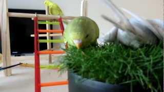 Parakeets at our home - Parkieten bij ons thuis