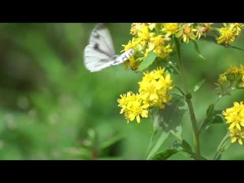 Butterfly in flower garden of Mt Taisetu(大雪花園に舞う蝶)